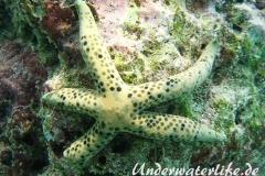 Tamaria megaloplax_adult-Malediven-2013-001