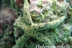 Tamaria megaloplax_adult-Malediven-2013-004