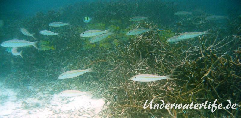 Seitenfleck-Meerbarben_adult-Malediven-2013-02