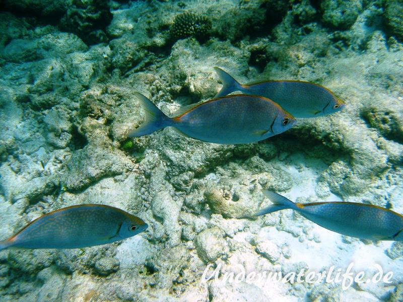 Schuhl-Kaninchenfisch_adult-Malediven-2013-03