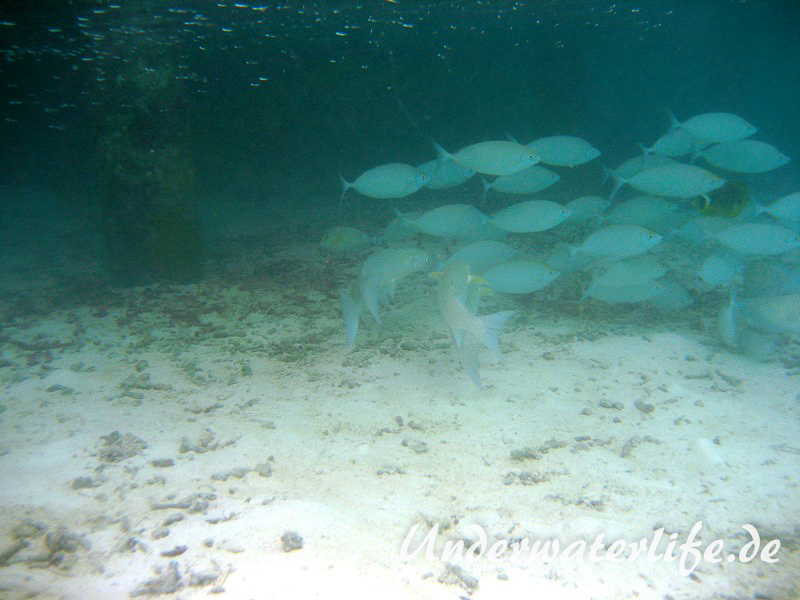 Schuhl-Kaninchenfisch_adult-Malediven-2013-04