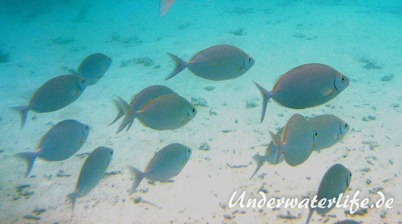 Schuhl-Kaninchenfisch_adult-Malediven-2013-06