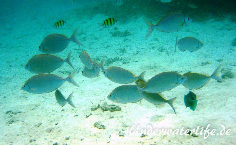 Schuhl-Kaninchenfisch_adult-Malediven-2013-07