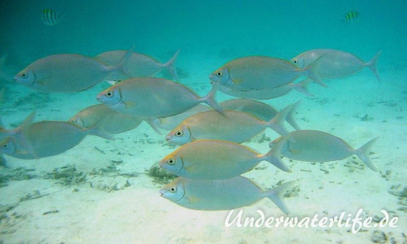 Schuhl-Kaninchenfisch_adult-Malediven-2013-08