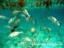 Silber-Kaninchenfisch (Siganus argenteus)