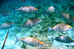 Schuhl-Kaninchenfisch_adult-Malediven-2013-02