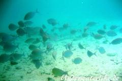 Schuhl-Kaninchenfisch_adult-Malediven-2013-05