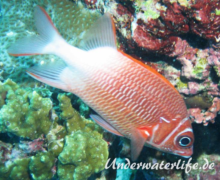 Silberfleck-Husar_adult-Malediven-2013-01