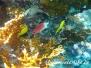 Silberfleck-Husar (Sargocentron caudimaculatum)