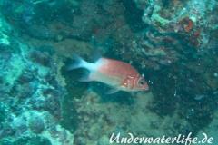 Silberfleck-Husar_adult-Malediven-2013-02