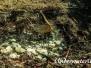 Gemeiner Sonnenbarsche (Lepomis gibbosus)