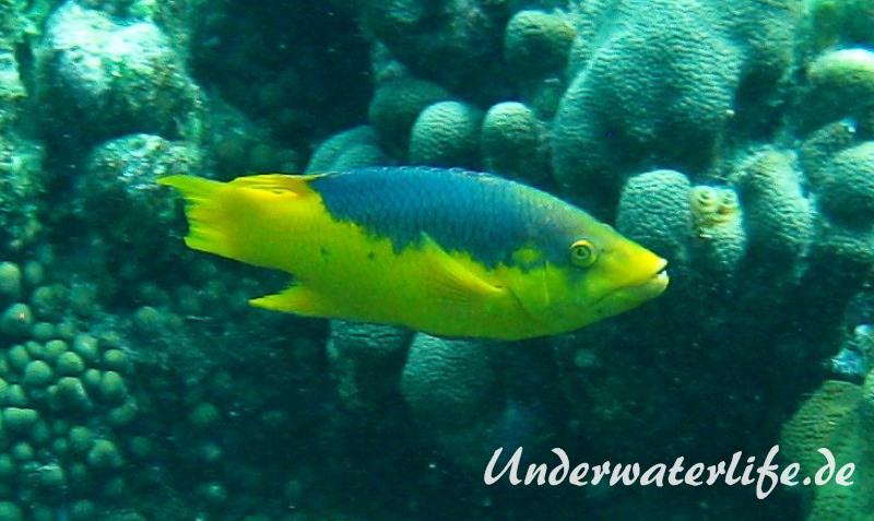 Spanischer Schweinslippfisch_adult-Karibik-2014-001