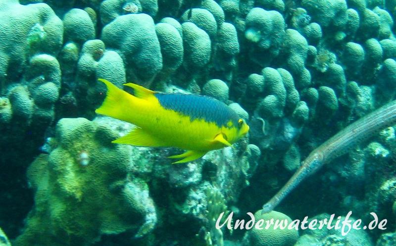 Spanischer Schweinslippfisch_adult-Karibik-2014-002