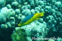 Spanischer Schweinslippfisch_adult-Karibik-2014-003
