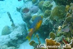 Spanischer Schweinslippfisch_adult-Karibik-2014-004