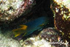 Spanischer Schweinslippfisch_adult-Karibik-2014-005
