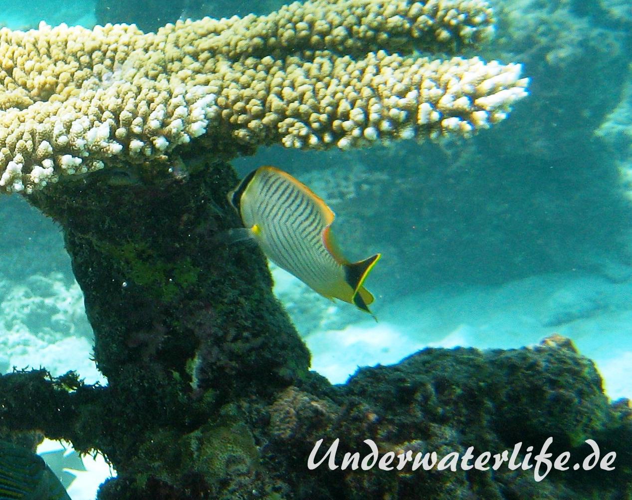 Sparren-Falterfisch_adult-Malediven-2013-01