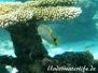 Sparren-Falterfisch (Chaetodon trifascialis)