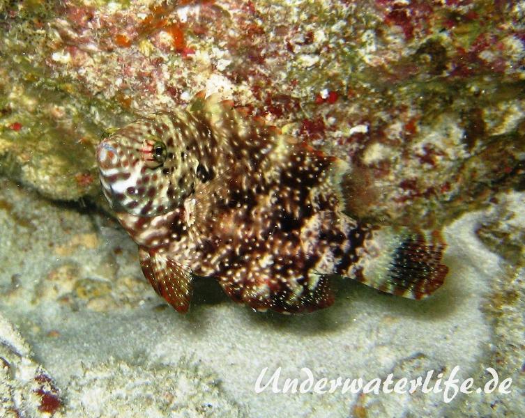 Spitzkopf-Lippfisch_adult-Malediven-2013-01