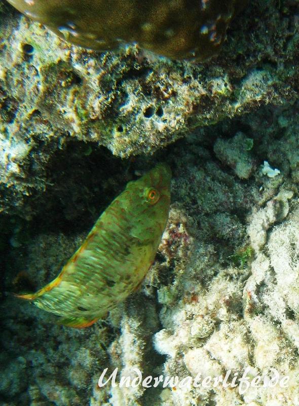 Spitzkopf-Lippfisch_adult-Malediven-2013-06