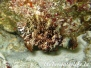Spitzkopf-Lippfisch (Cheilinus oxysephalus)