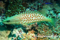 Spitzkopf-Zackenbarsch_adult-Malediven-2013-01