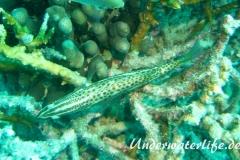 Spitzkopf-Zackenbarsch_adult-Malediven-2013-03