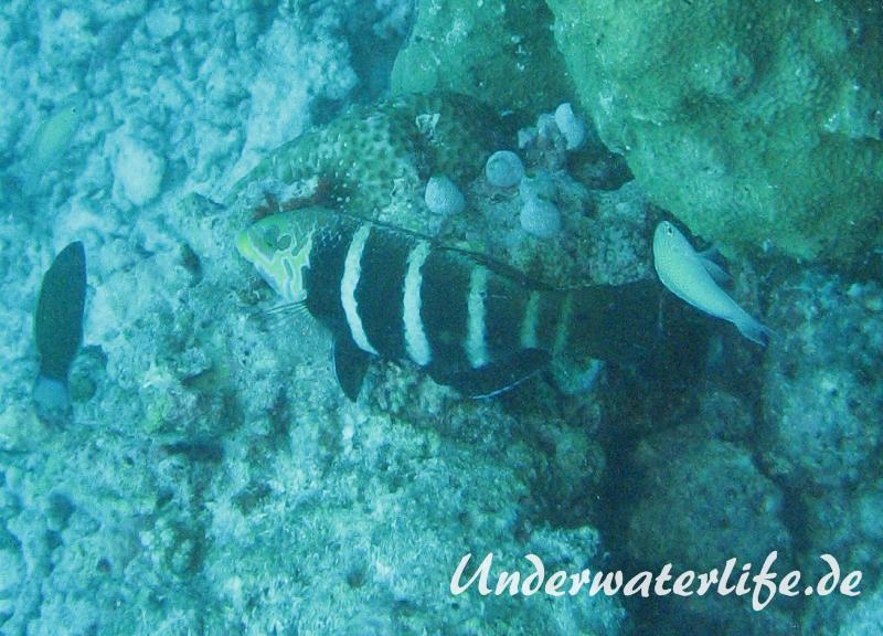 Streifen-Bannerlippfisch_adult-Malediven-2013-04
