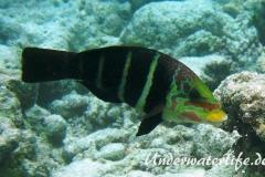 Streifen-Bannerlippfisch_adult-Malediven-2013-01