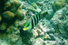 Streifen-Bannerlippfisch_adult-Malediven-2013-02