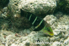 Streifen-Bannerlippfisch_adult-Malediven-2013-03