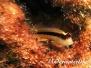 Streifenschleimfisch (Parablennius rouxi)