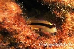 Streifenschleimfisch_adult-Dubrovnik-2015-01