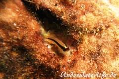 Streifenschleimfisch_adult-Dubrovnik-2015-02
