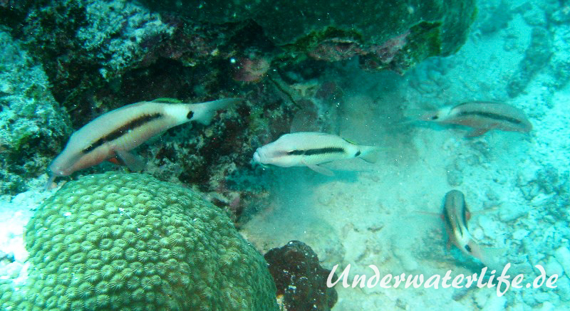 Strich-Punkt-Meerbarbe_adult-Malediven-2013-04