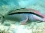 Strich-Punkt-Meerbarbe (Parupeneus barberinus)