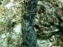 Strichel-Seewalze (Bohadschia graeffei)
