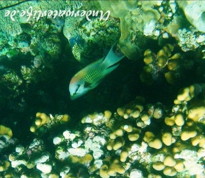Stuelpmaul-Lippfisch_adult-Marsa alam-2012-1