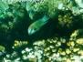 Stülpmaul-Lippfisch (Epibulus insidiator)