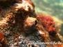 Südliche Seepocke (Balanus perforatus)