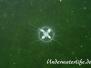 Süßwasserqualle (Craspedacusta sowerbii)