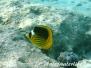 Tabak-Falterfisch (Chaetodon fasciatus)