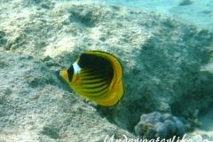 Tabak-Falterfisch_adult-Marsa alam-2012-1