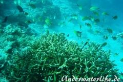 Ternate-Chromis_adult-Malediven-2013-01
