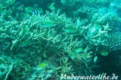 Ternate-Chromis_adult-Malediven-2013-02