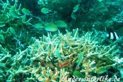 Ternate-Chromis_adult-Malediven-2013-03
