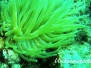Thor-Anemonengarnele (Thor amboinensis) Karibik