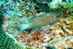 Tiger-Kardinalbarsch_adult-Malediven-2013-01