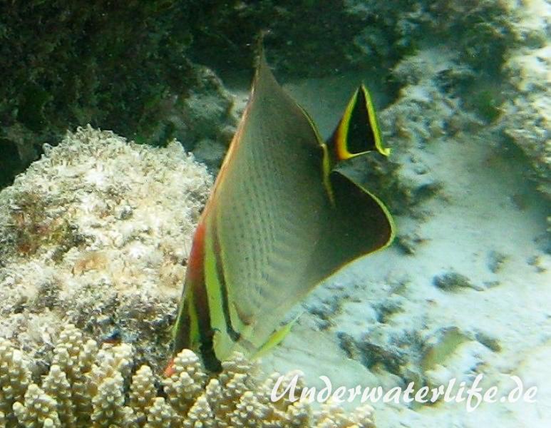 Triangel-Falterfisch_adult-Malediven-2013-01