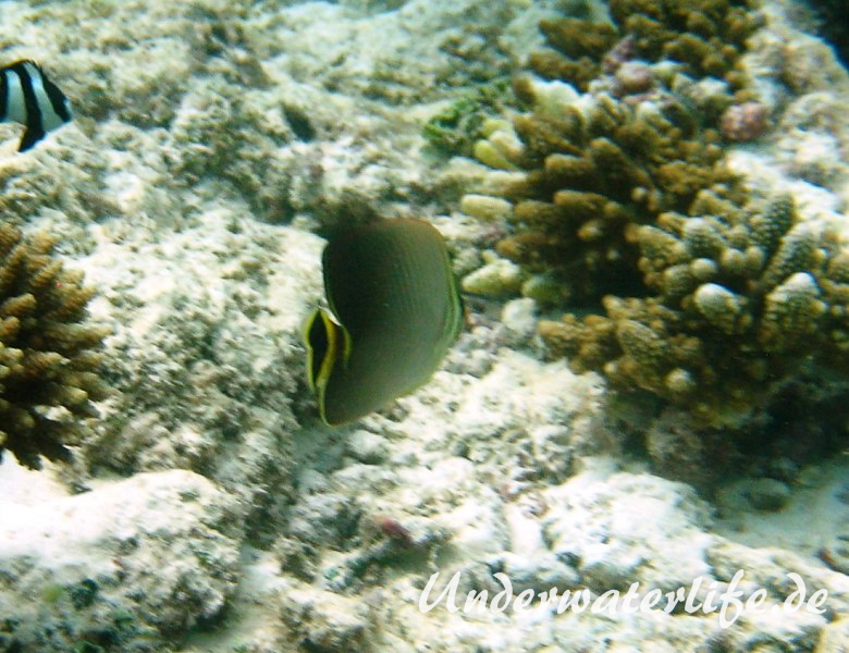 Triangel-Falterfisch_adult-Malediven-2013-02